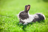 Pet rabbit on green grass