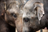Heads of Asian elephants