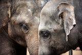 Heads of Asian elephants