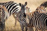 brown and black striped zebra herd in tall grass