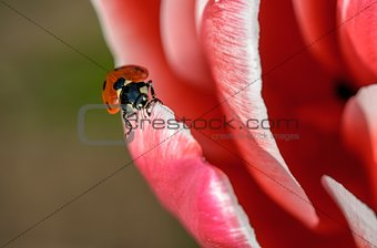 close view five spotted lady bug on pink flower petal