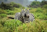 mated pair of zebra mammal wild life