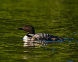 Common Loon (Gavia immer) Swimming