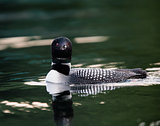 Common Loon Swimming with Reflection (Gavia immer)