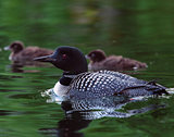 Common Loon (Gavia immer) with two baby chicks