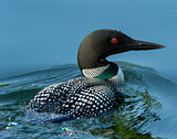 Common Loon (Gavia immer) Closeup