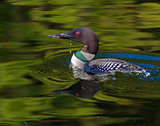 Common Loon with water drip (Gavia immer)