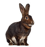 Rex Rabbit isolated on white
