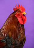 Close-up of a Welsummer Dutch rooster against Purple background