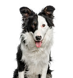 Close-up of Border Collie, 9 months old, isolated on white