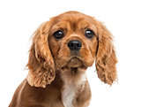 Close-up of Cavalier King Charles Spaniel puppy