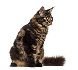 Maine Coon cat sitting and looking away isolated on white
