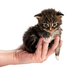 Maine coon kitten in human hand isolated on white