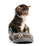 Maine coon kitten in a slipper isolated on white