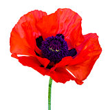 poppy. red poppy isolated on white background.red poppy. beautif