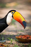 Close-up of toco toucan bending over papaya