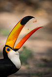 Close-up of toco toucan catching fruit chunks