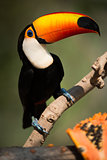 Close-up of toco toucan eyeing papaya half
