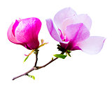 decoration of few magnolia flowers. pink magnolia flower isolate