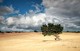 pine tree on sand dune and stormy sky