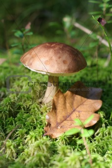 Autumn mushroom - Slippery Jack