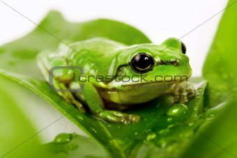 Small green tree frog sitting on the leaves
