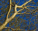 abstract picture of white poplar
