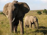 Mother Elephant and Child
