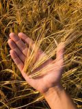 Wheat In Hand