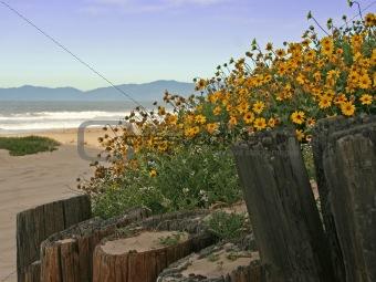 Beach Daisies