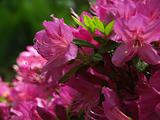 Hot Pink Azalea blooms, with back-lit leaves