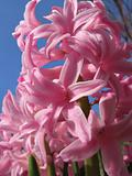 Pink Hyacinths Closeup from Below, Spring