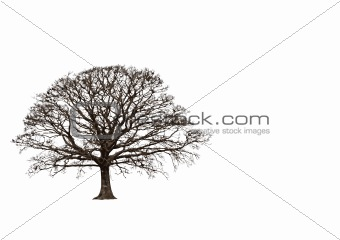 Abstract Winter Oak