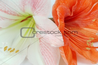 Two amaryllis
