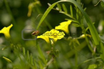a bee approaches an oxalis