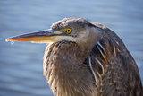 Great Blue Heron - Ardea Herodias, Juvenile.