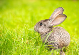 Grey rabbit in grass closeup