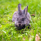 Grey rabbit in grass closeup