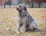 Briard dog in autumn forest