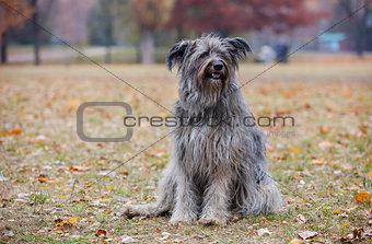 Briard dog in autumn forest