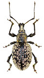 Weevil Otiorhynchus corruptor on white Background  -  Otiorhynch