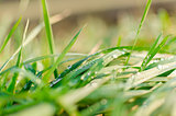 Grass morning water drops detail