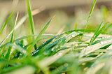 Grass morning water drops detail