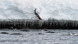 Gentoo Penguin jump in water