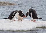 Gentoo Penguin on the ice