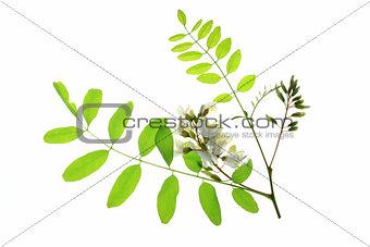 Black locust (Robinia pseudoacacia)