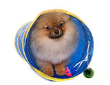 puppy pomeranian dog in tunnel