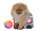 puppy pomeranian dog playing