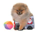 puppy pomeranian dog playing