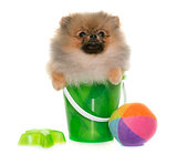 puppy pomeranian dog